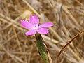 Dianthus pungens Enfoque 2010-8-14 SierraMadrona.jpg