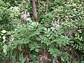 Dictamnus albus sl15.jpg