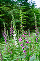 Digitalis purpurea - Purple Foxglove - Roter Fingerhut - Hesse - Germany - 15.jpg