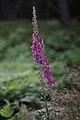 Digitalis purpurea - Revebjølle med blomar og frøkapslar.jpg