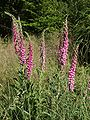Digitalis purpurea 220605.jpg