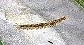 Dineutus sp larva.jpg