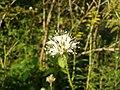 Dipsacus pilosus inflorescence (26).jpg