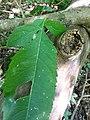 Dipsacus pilosus leaf (03).jpg