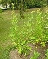 Dipsacus pilosus plant (12).jpg