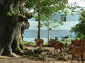 Dipterocarpus alatus is the most beautiful tree on the world *.JPG