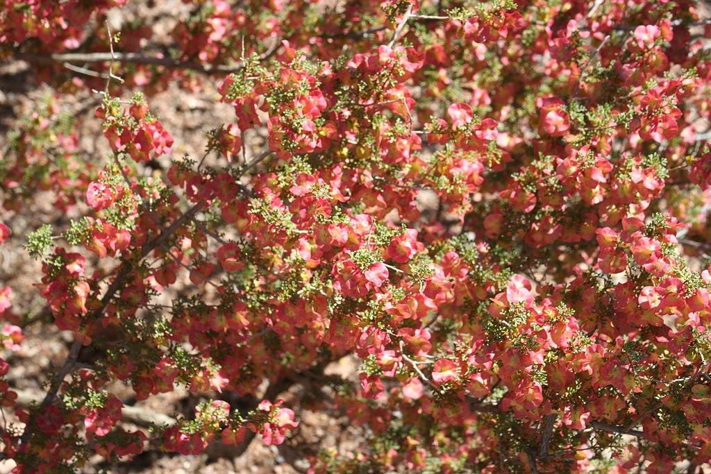 Dodonaea microzyga - Desert Botanical Garden