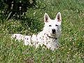 Dog (Canis lupus familiaris) (3).jpg