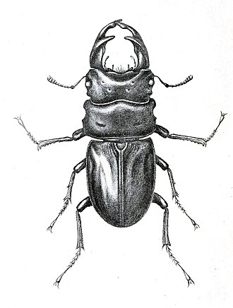 Frederick William Hope - Dorcus hopei is a stag beetle named after F.W. Hope