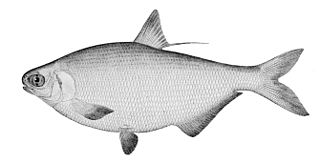 American gizzard shad species of fish