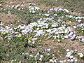 Dorotheanthus maughanii-P9200092.jpg