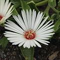 Dorotheanthus oculatus-IMG 4238.jpg