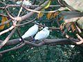 Doves (372109982).jpg