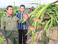 Drachenfrüchte in Kepahiang.jpg