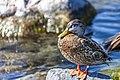 Duck (43482889764).jpg