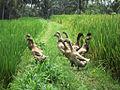 Ducks (6337601928).jpg