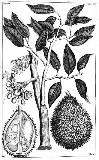 Georg Eberhard Rumphius - Illustration of Durian from Herbarium Amboinense