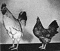 Dwarf rooster.jpg
