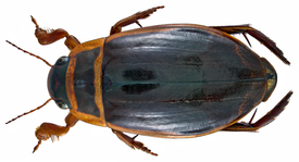 Dytiscus marginalis Linné, 1758 male (3406170361).png