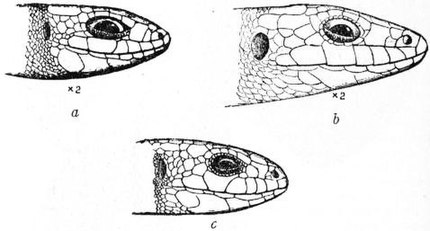 EB1911 - Lizard - Fig. 2.—Heads of British Lizards.jpg