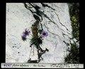 ETH-BIB-Aster alpinus, Fex-Curtins-Dia 247-03676.tif