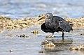 Eastern Reef Egret (41156494045).jpg