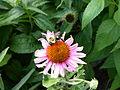 Echinacea-purpurea-with-bumblebee-1.jpg