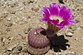 Echinocereus rigidissimus (Rainbow Cactus) Blossom.jpg