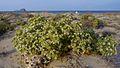 Echinophora spinosa66.jpg