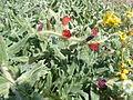 Echium angustifolium RJP 01.JPG