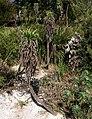 Echium pininana, Coleton Fishacre - geograph.org.uk - 1189647.jpg