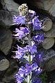 Echium vulgare - img 25808.jpg