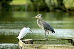Egret & Heron - Stanborough Lakes (28642090834).jpg