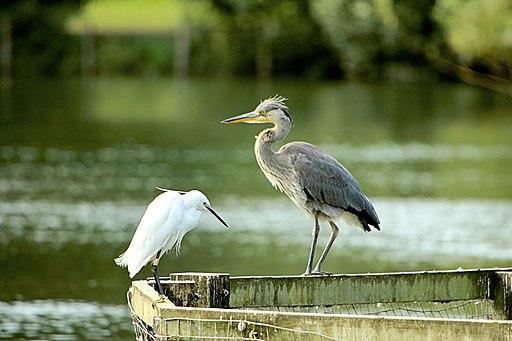 Egret & Heron - Stanborough Lakes (28642090834)