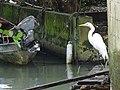 Egret at Waterfront - Livingston - Izabal - Guatemala (15715418719).jpg