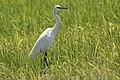 Egretta garzetta - Little Egret 06.jpg