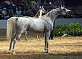 Egyptian Arabian Mare at the 2010 Egyptian Event Horse Show (8308402993).jpg
