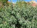 Elaeagnus angustifolia 3.jpg