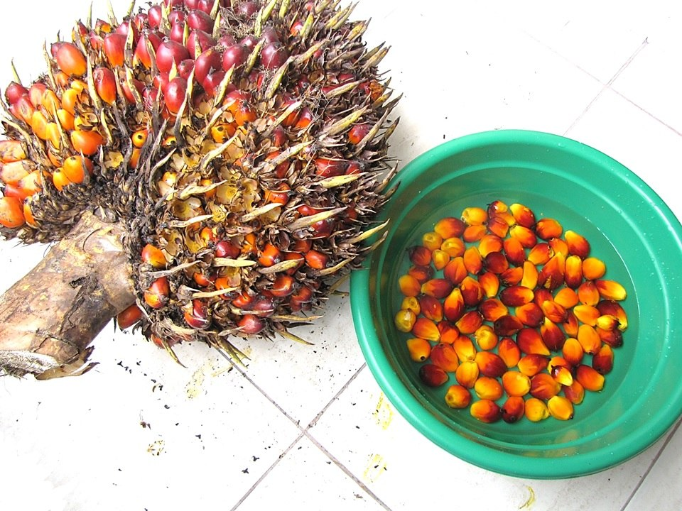 Elaeis guineensis - noix de palme oil palm - harvesting fruits from the the cluster