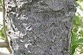 Elaeis guineensis 12zz.jpg