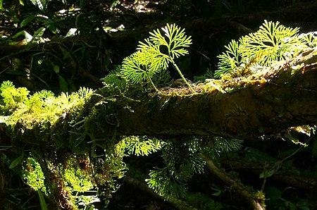 Elaphoglossum peltatum Costa Rica.jpg