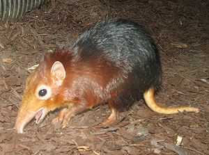 Black and Rufus Giant Elephant Shrew. Français...