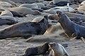 Elephant sea fight.jpg