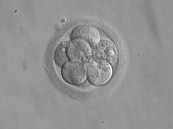 Embryo, 8 cells.jpg
