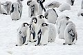 Emperor Penguin chicks moulting.jpg