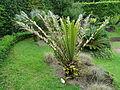 Encephalartos hildebrandtii Furnas 2016.jpg