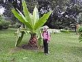Ensete superbum-3-cubbon park-bangalore-India.jpg