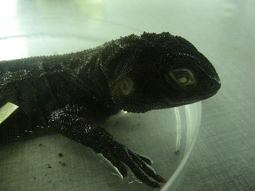 iguana enana