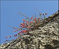 Ephedra Puech Blanc 1.jpg