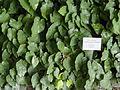 Epimedium perralderianum - Botanischer Garten, Frankfurt am Main - DSC03183.JPG